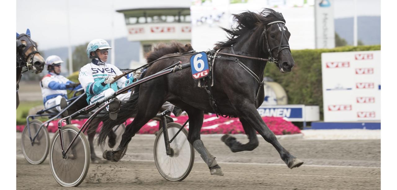 Gunnar Gabrielssons treåriga sto Zicolina är finalist i Norskt Travkriterium för kallblodsston. Foto Roger Svalsröd/hesteguiden.com