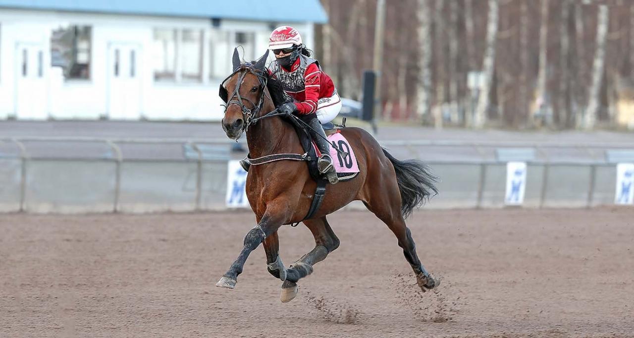 Mikael Å Linderoth-tränade Even's First Boy har åtta segrar för sadel på lika många försök. På sistone har Sofia Adolfsson suttit i sadeln, men i morgon är det Iina Aho som rider nioåringen. Foto Micke Gustafsson/ALN