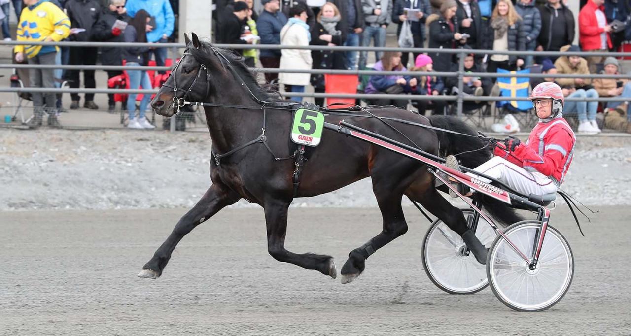 Månprinsen A.M. vann själv Kallblodsderbyt för sju år sedan. På onsdag startar han i högsta klassen i Östersund, samtidigt som en ny Derbyvinnare ska koras. Foto Jeannie Karlsson/Sulkysport