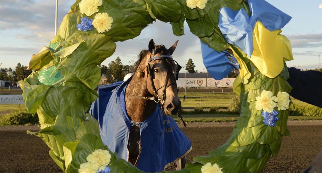 Järvsö Pegasus vann det svenska Kallblodsderbyt. Nu jagar han en ny lagerkrans i den norska motsvarigheten. Foto Christer Norin/ALN
