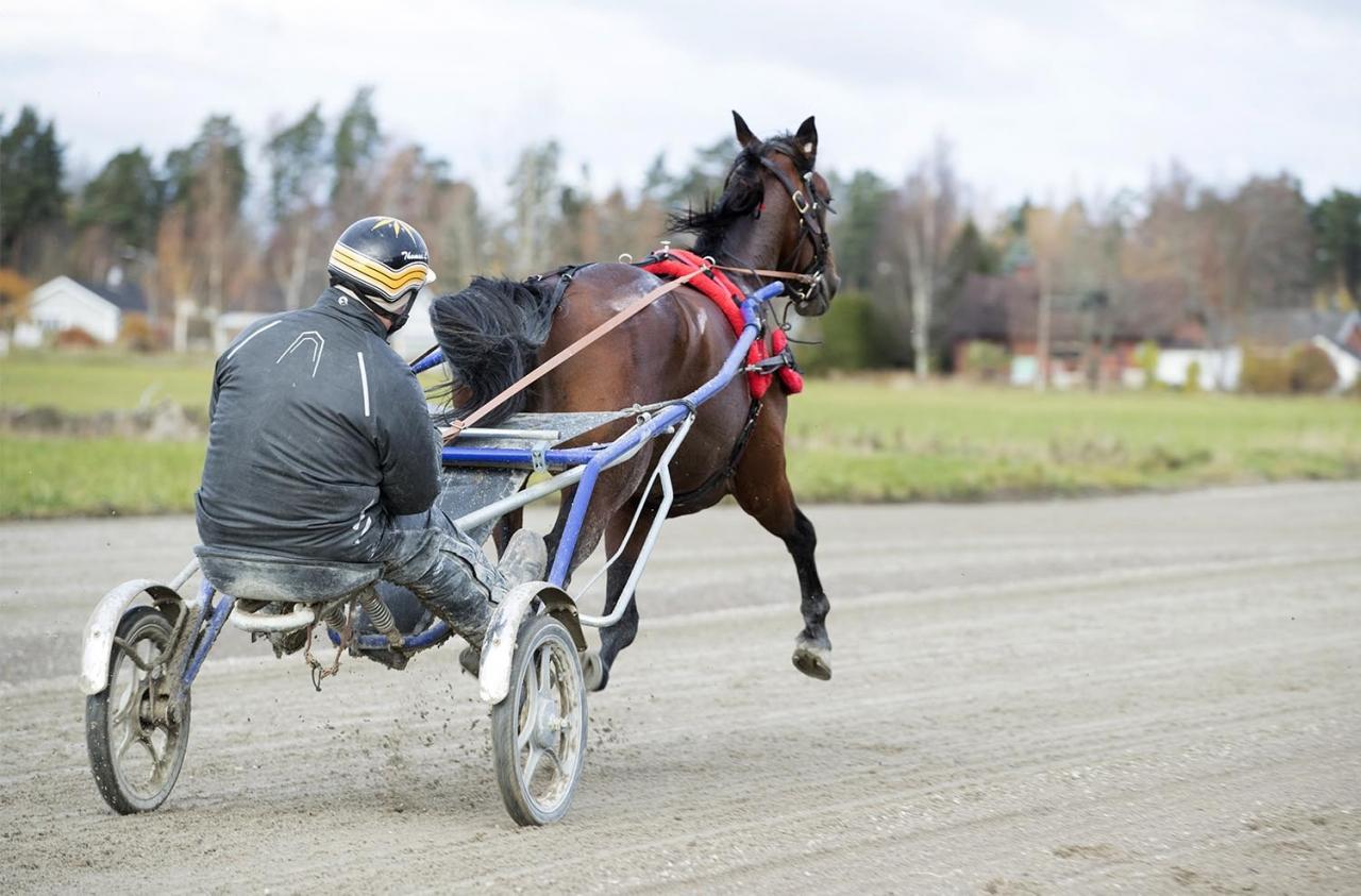 Är Lucifer Lane preparerad för att vinna direkt i årsdebuten? Foto Jeannie Karlsson/Sulkysport