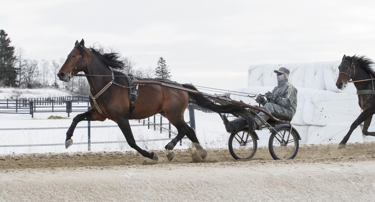 Hambletonianvinnaren Perfect Spirit drabbar bland annat samman med Zack's Zoomer i torsdagens sprinterlopp Fyraåringsstjärnan i Gävle. Foto Jeannie Karlsson