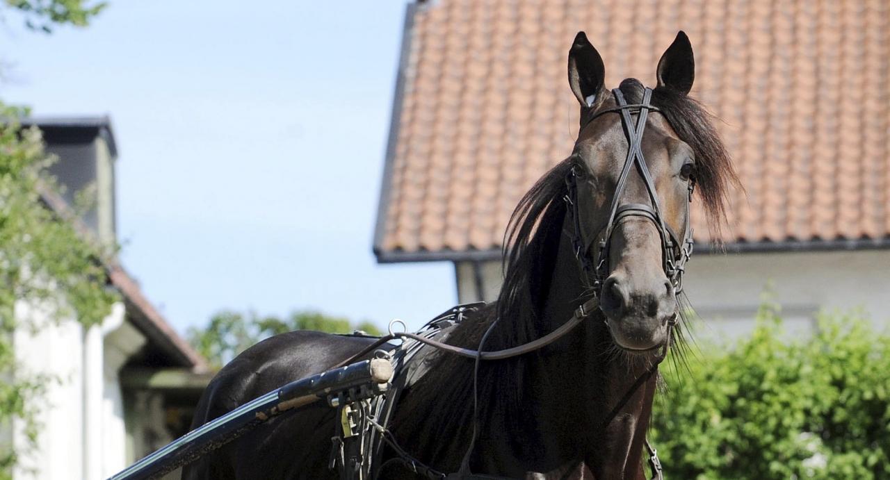 Corky har varit föremål för rättslig tvist mellan ägarna Stall Corkad och veterinären Anders Ekfalk. Foto Adam Ström/Stalltz.se