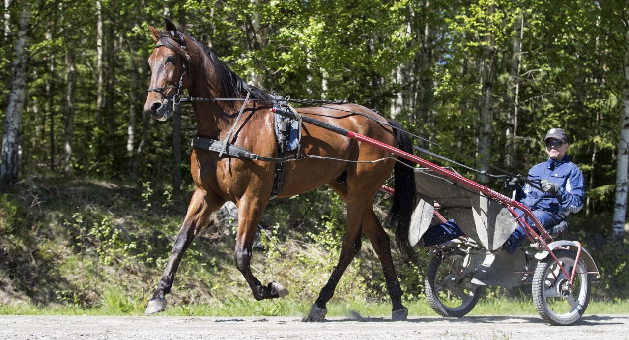 Magnus Träff-tränade Survival Kit får för andra gången Örjan Kihlström i sulkyn. Första gången var när hästen gick godkänt premielopp. Foto Jeannie Karlsson