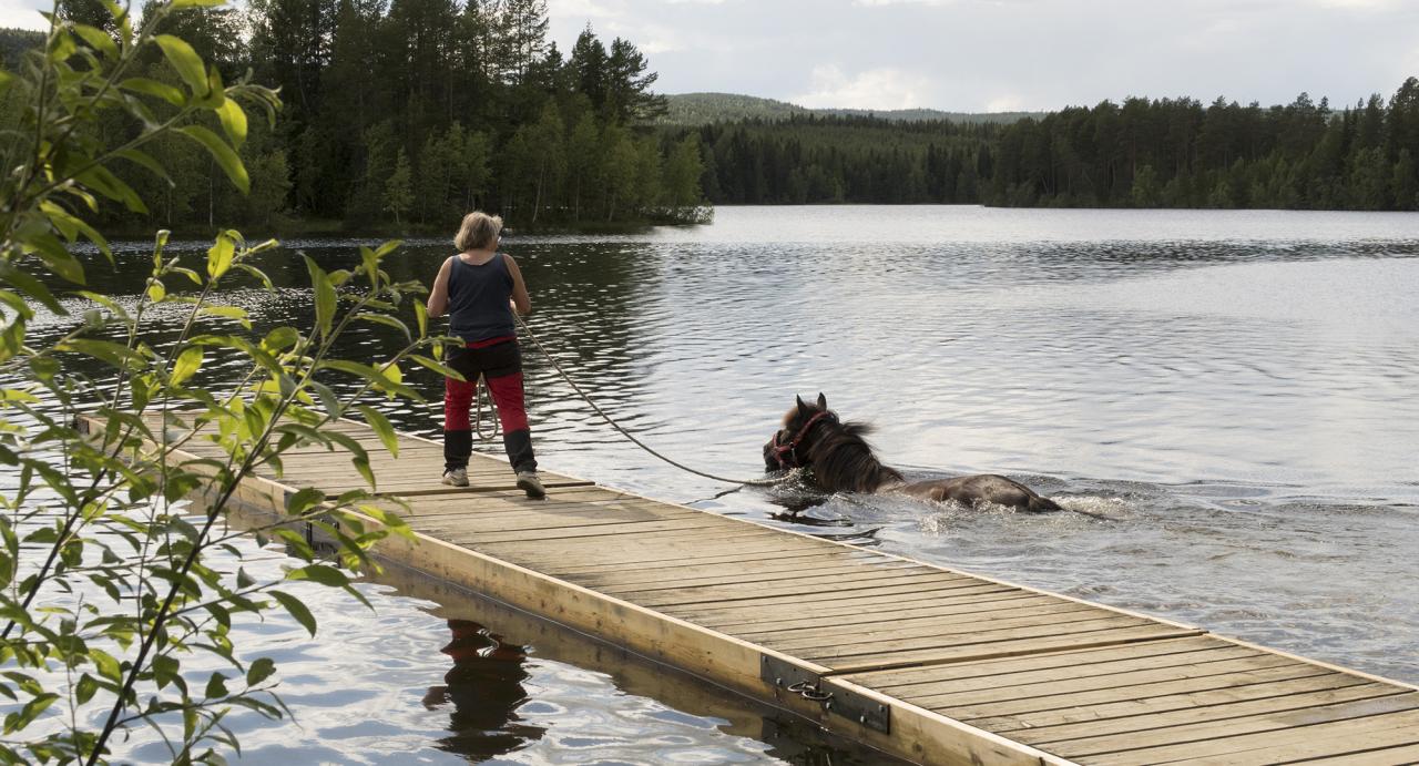 En häst badar vid bryggan efter tävlingarna på Hotingtravet. I morgon är det premiärdagen av Hotings travvecka. Foto: Jeannie Karlsson/Sulkysport