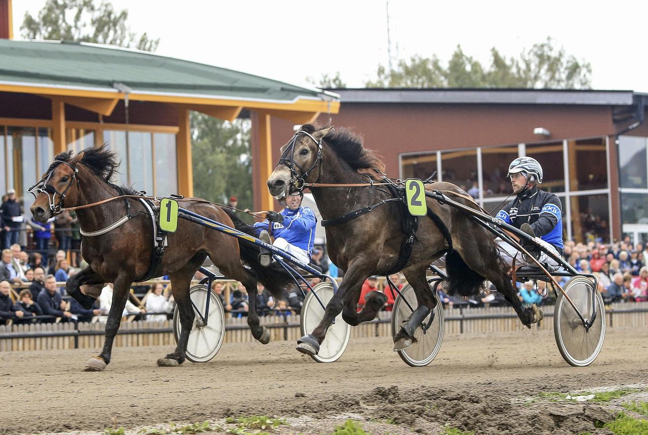 Bäcklös Uriel vinner Kallblodskriteriet i år före Byske Philip, även det en lovande svensk uppfödning genom Leif Tommy Sandberg. Foto Girlpower HB