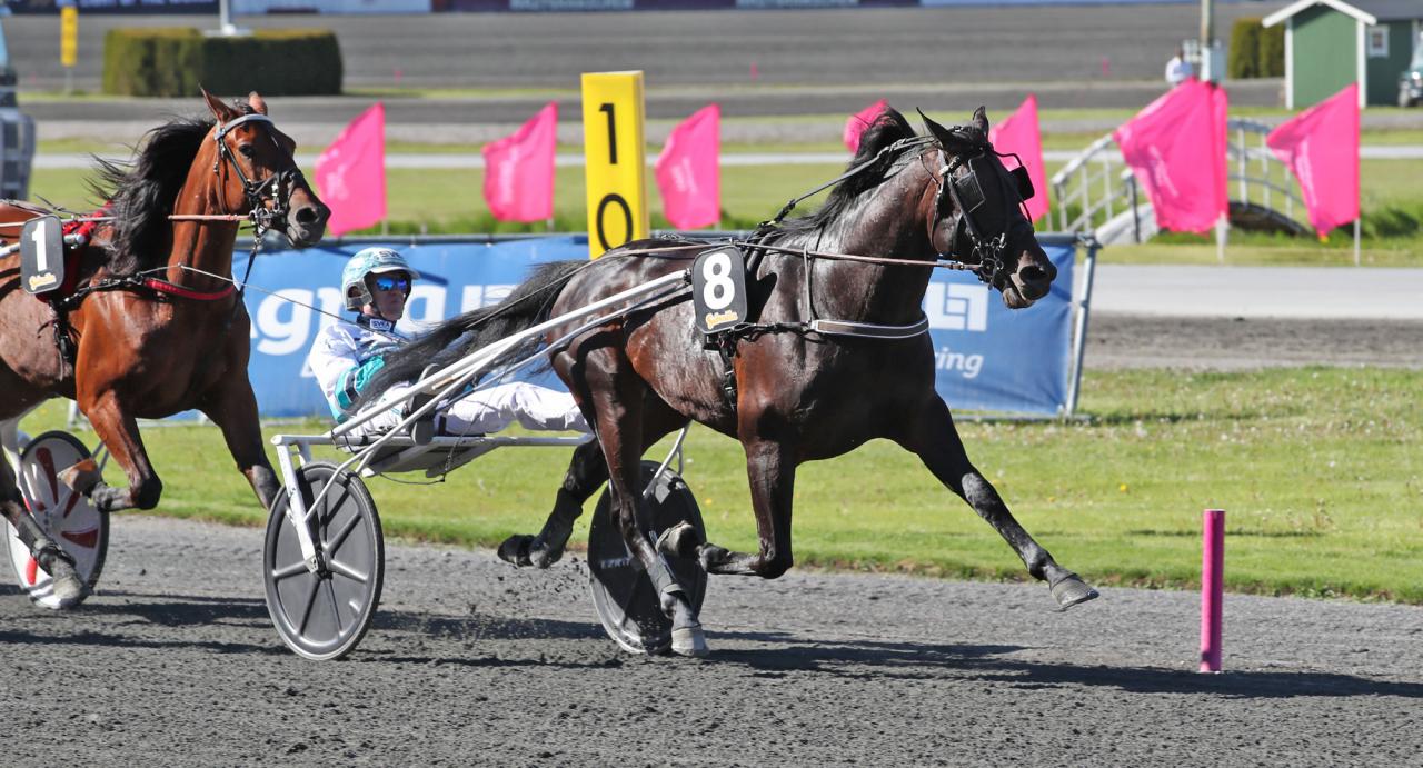 Don Fanucci Zet är Daniel Redéns häst i Derbyt och han har ytterligare fyra i Derbystoet! Foto Mathias Hedlund/Sulkysport